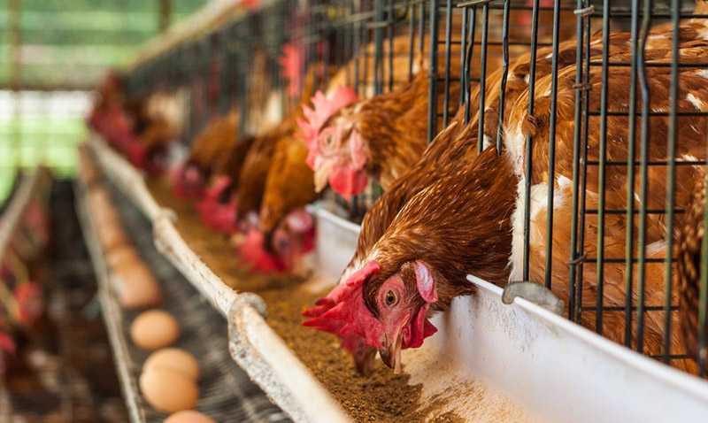 Проблемы применения кормовой сои в животноводстве